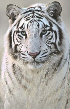 The white tiger has become even rarer in the wild due to trophy hunting or capture for the exotic pet trade. The white tiger has become even rarer in the wild due to trophy hunting or capture for the exotic pet trade Tiger Pictures, Animal Pictures, Beautiful Cats, Animals Beautiful, Big Cats, Cats And Kittens, Animals And Pets, Cute Animals, Wild Animals
