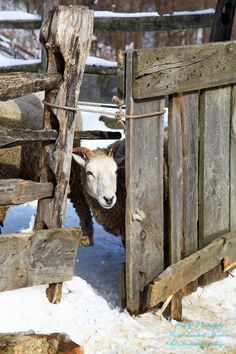 FARMHOUSE – ANIMALS – winter is a time for resting on the farm.