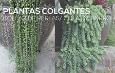 Suculentas colgantes: collar de perlas o cola de burro | Plantas                                                                                                                                                                                 Más