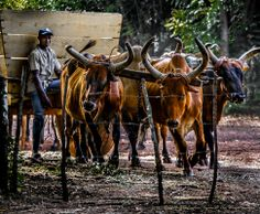 JDeCastro-AgainstTheWindImages-3641-2 Ox drawn cart Dominican Republic.