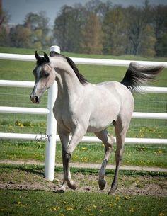 Prancing Arabian horses