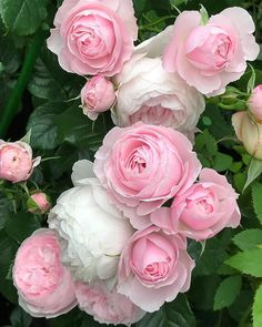 roses garden care Roses of the garden of my house in May # Exotic Flowers, Amazing Flowers, Beautiful Roses, Beautiful Gardens, Pink Flowers, Beautiful Flowers, Flower Petals, Pretty Roses, Rose Garden Design
