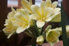 Google Image Result for http://wp.macfusion.org/wp-content/uploads/2010/06/Yellow-Clivia-miniata.jpg