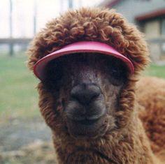 Llamas With Afros llamas in love on Pint...
