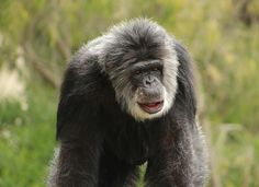 Chimpanzee by Deana Glenz - prints available at www.fineartamerica.com