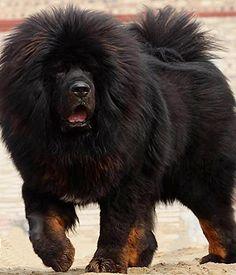 Tibetan Mastiff breed info,Pictures,Characteristics,Hypoallergenic:No