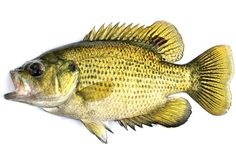 Human antidepressants are building up in the brains of bass, walleye and several other fish common to the Great Lakes region, scientists say.