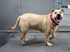 TO BE DESTROYED - MONDAY - 7/14/14 Manhattan Center   My name is JOEY. My Animal ID # is A1005987. I am a neutered male tan and black labrador retr and chow chow mix. The shelter thinks I am about 3 YEARS old.  I came in the shelter as a STRAY on 07/08/2014 from NY 10033, owner surrender reason stated was STRAY. https://www.facebook.com/photo.php?fbid=835211446491736&set=a.611290788883804.1073741851.152876678058553&type=3&theater