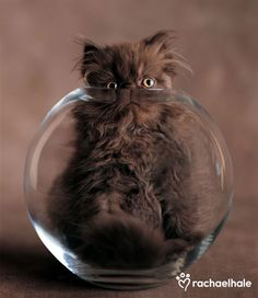 Rascal (Chocolate Persian Kitten) - Rascal comes up with a cunning plan to get the goldfish.
