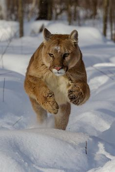 Mountain Lion on the Hunt by Chris Montano Jr.**