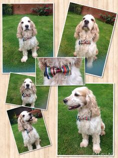 Handmade bespoke dog bow tie from Lilly Dilly's #wedding #dog #bow tie #stripes #handmade #bespoke