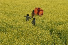 "nubbsgalore: "" the mustard fields of india and bangladesh photographed by: (1)…"