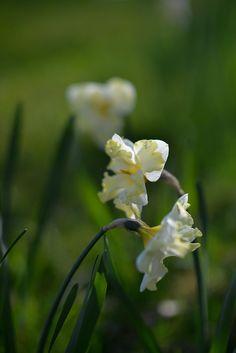 Narciss 'Cassata'