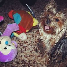 Playing with my toys. Asuka the #Yorkie #yorkeezz #yorkies #yorkshireterrier #yorkiegram #dogs #pets #cute #beauty #funny #animals #petstagram #dogoninstagram #instadogs #instapet #instayorkie #йорки #йоркикручевсех #йоркширскийтерьер #собаки #псы