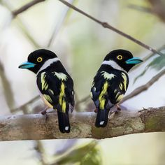 Black and Yellow Broadbill.