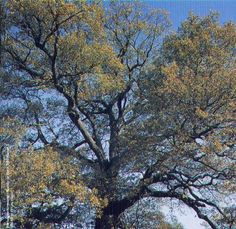 ~Click to Plant an Oak Tree~ :: Click 4 A Change :: Care2 Groups