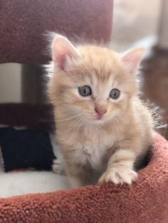 Bobbylicious Alaska: red silver #kurilianbobtail #kittens available www.funkytail.co.uk Bobtail Cat, Cattery, Kittens, Cats, Alaska, Silver, Red, Animals, Cute Kittens