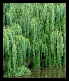wheepping willow trees | ... flowers trees plants 2005 2013 mundon a beautiful willow tree in the