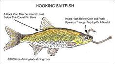 Live Bait Rigs, Bass Fishing Live bait, Rigging Live Bait