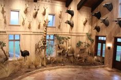 Trophy Rooms, Taxidermy, Tours, Big, Hunting, Animal, Ideas, Animals, Thoughts