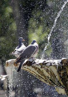Dos palomas se refrescan en una fuente de Madrid, donde la ola de calor dará lugar a altas temperaturas que no comenzarán su descenso hasta el sábado.