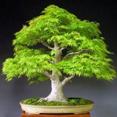 Uma galeria para quem gosta dessa árvore maravilhosa, que traz nas cores de suas folhagens a variação do vermelho escuro, passando pelo laranja , amarelo, ao verde. Eu gostaria de poder ter essa e…