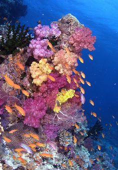 Fiji Reef with anthias. Beautiful shot, but doesn't compare to the incredible reef life and jaw dropping colors of Palancar Caves of Cancun, Mexico. If you can only scuba dive at one spot in the world, chose The Palancar Caves (not caves, just very tall columns of coral, and always open, never dark.) Somebody decided to say caves, for effect i guess.