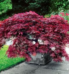 Japanese Maple 'Dissectum Garnet' The beautiful, dark red leaved Japanese Maple (Acer palmatum 'Garnet Dissectum') shrub is very striking in any garden. Distinctive for its magnificent, slender, dark red leaves. The fabulous colourful foliage of Garden Shrubs, Garden Trees, Garden Pots, Garden Landscaping, Patio Trees, Back Gardens, Small Gardens, Trees And Shrubs, Trees To Plant