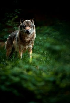 She wolf - colors are so beautiful - reminds me of the Boarder Collie - Beautiful display of natures colors !