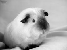 beautiful photo of a cute guinea pig