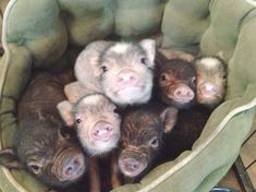 Here are 22 things mini pig owners will understand and why they chose these adorable animals as pets. Mini pigs are adorable but do require extra care. Animals And Pets, Baby Animals, Funny Animals, Cute Animals, Zebras, Cute Piglets, Teacup Pigs, Baby Pigs, Little Pigs