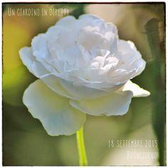 In diretta dal giardino: fiori di settembre,rosa Winchester Cathedral Leggi di più nel blog!  #giardino #giardinoindiretta #fiori #settembre #rose