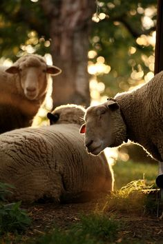 I really hope to have an enchanting encounter with sheep when we visit Ireland. I know it's a small ambition. I know I can see sheep anywhere. But somehow, I just feel that our UK trip won't be complete until I mingle with the Irish sheep.