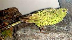 /img/ITIS/Pezoporus occidentalis/Night Parrot 3