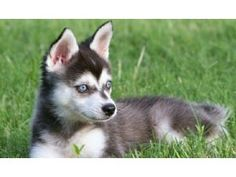 My next dog-Alaskan Klee Kai