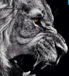 Lions Roaring