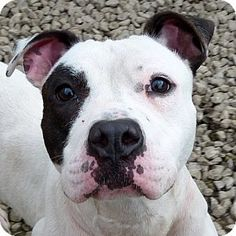 Valley View, OH - Pit Bull Terrier. Meet Delta - Kennel