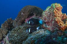 Photo: The endemic McCulloch Anemonefish is found on many dives on Lord Howe Island. Like all anemone fish the McCulloch Anemonefish has a symbiotic relationship with the anemone in which they live and are not affected by their stinging tentacles. The McCulloch Anemonefish is a sequential hermaphrodite and the female is always the largest and the breeding male is the next in line, followed by progressively smaller males. If the female dies the breeding male will change sex to continue the…