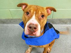 TO BE DESTROYED - 02/16/15 Manhattan Center -P My name is FUERTE. My Animal ID #A1026914  Male brwn/wh bully/ter mix. 6 YRS old  STRAY***Playful, Active  PUP -CODE RED!!! Volunteers say: He's full of wonderful, playful energy and though he does pull strongly on leash. Good w/ other dogs . Affectionate, sits on command, Good behavior scores. Fuerte's would benefit from an experienced, active, strong-hearted family who'll truly appreciate all the joy his endless love and loyalty can bring.