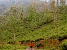 Hiking from Darjeeling to Sikkim, along tea estates, sleepy mountain villages and across the Rangeet River. What an adventure!