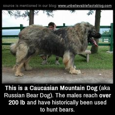 """unbelievable-facts: """" This is a Caucasian Mountain Dog (aka Russian Bear Dog). The males reach over 200lb and have historically been used to hunt bears. """""""