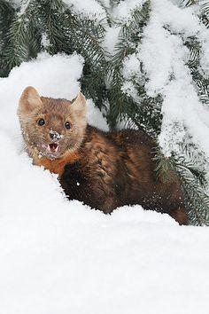 Photo by Jeff Wendorff. American Marten, Animals Beautiful, Cute Animals, Pine Marten, His Dark Materials, Camels, Otters, Predator, Fisher