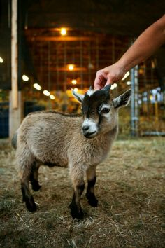 Pygmy goat (: Super cute!