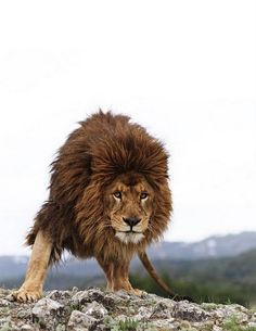 Lion King Into the Wild Amazing nature Photography photo León