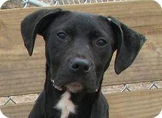 Stlill alive   Urgent please save West Memphis, AR - Labrador Retriever/Pit Bull Terrier Mix. Meet Bettye a Dog for Adoption.