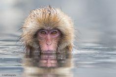 Snow Monkey, Nagano, Japan Japan Snow Monkey Photo Tour
