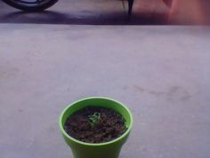this is when the tomato seed grow become to a small tomato plant for the sixth day.