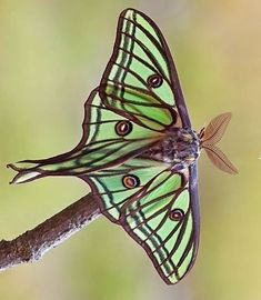 hat an amazing Graellsia isabellae ! ✨ What is your favorite butterfly species ? hat an amazing Graellsia isabellae ! ✨ What is your favorite butterfly species ? Papillon Butterfly, Butterfly Art, Beautiful Bugs, Beautiful Butterflies, Colorful Moths, Moon Moth, Butterfly Species, Moth Tattoo, Insect Photography
