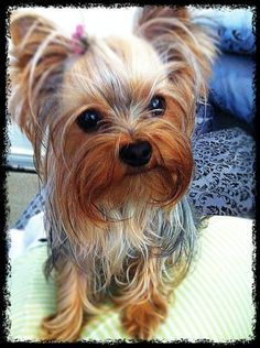 Pictures of Yorkshire Terrier Dog Breed# #yorkshireterrier