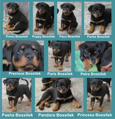 die besten 25 rottweiler kennel ideen auf pinterest rottweiler zitate deutsche rottweiler. Black Bedroom Furniture Sets. Home Design Ideas